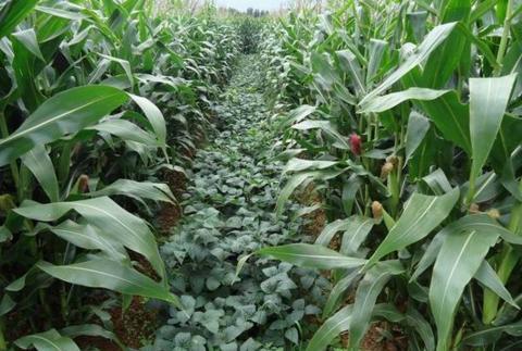 玉米大豆.jpg