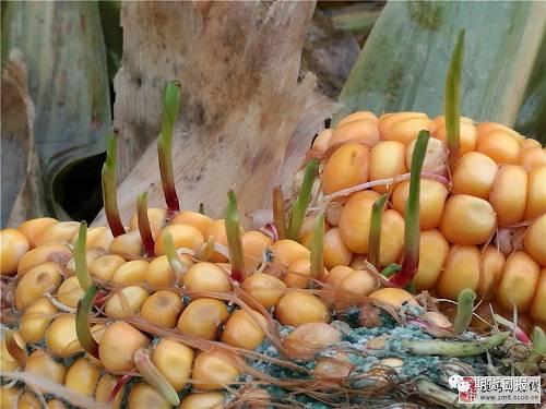 豫南某地玉米收晒不及时出现的发芽霉变情况